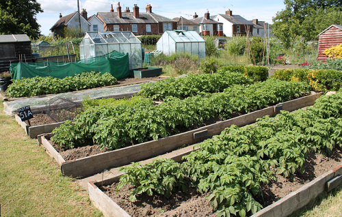 Picture of raised planted allotment beds