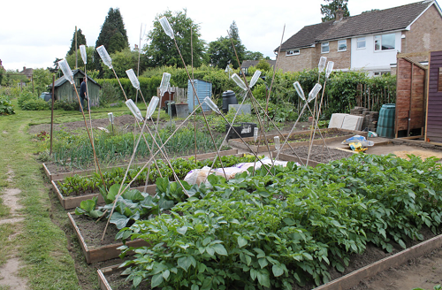 Picture of an allotment with bird scarers