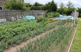 Picture of planted allotment beds